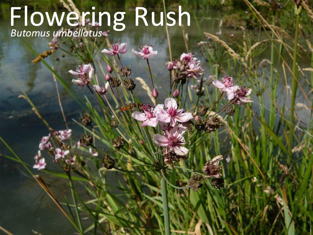 Flowering Rush3_good