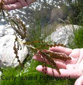 curly-leaf-pondweed
