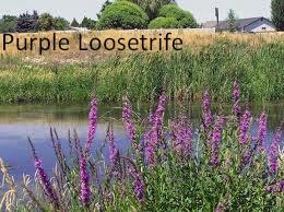 purpleloostrife2